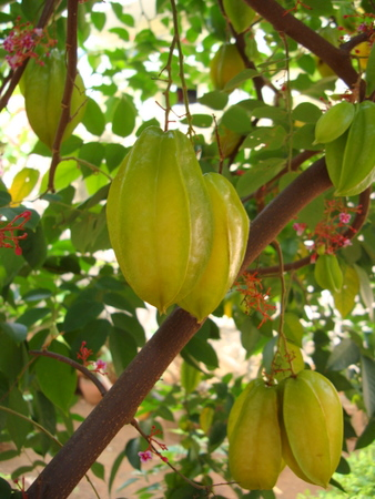 star-fruit-tree