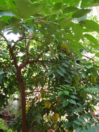 starfruit-tree
