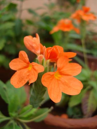 firecracker-flower