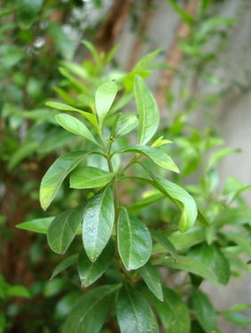 henna-plant-gorintaku