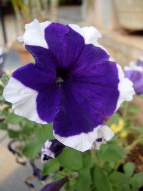 blue-petunia