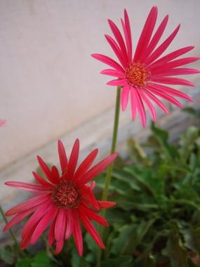deep-pink-zerbera