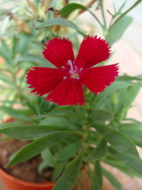 dianthus-china-pink