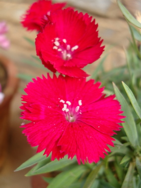 dianthus-china-pink1