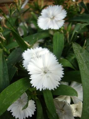 dianthus-white