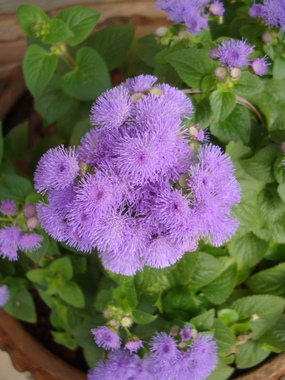 floss-flower