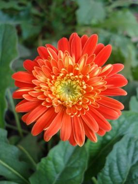 orange-zerbera