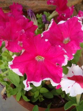 pink-petunia