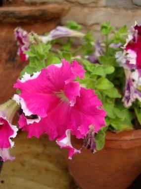 pink-petunia1