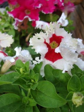 white-red-petunia