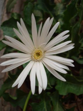 white-zerbera