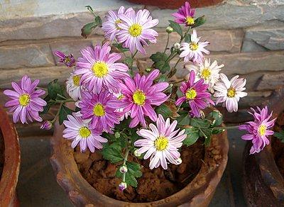 Chrysanthemum Flowers Pictures